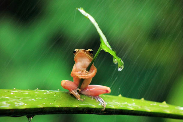 Frog Wearing Umbrella | Penkdix Palme / National Geographic