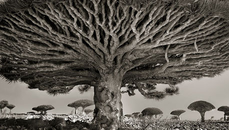 On the World's Oldest Trees and the Noble Process of Platinum Printing