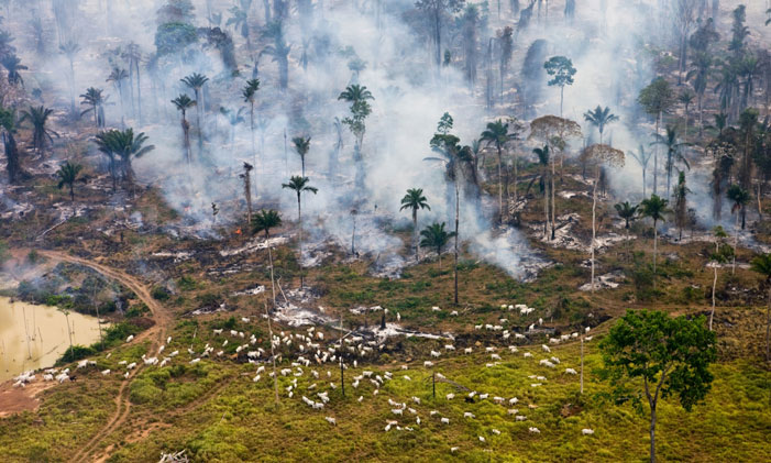 "Cows and Smoke Ground zero in the war on nature -- cattle graze among the burning Amazon jungle in Brazil  ""Throughout history human exploitation of the earth has produced this progression: colonize-destroy-move on."" (Garrett Hardin) 