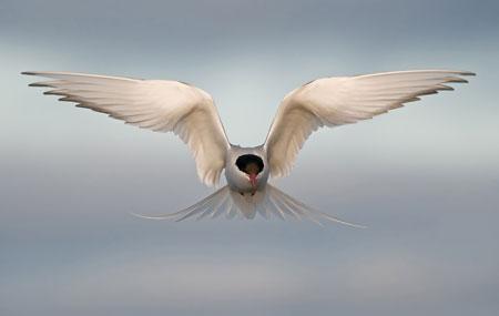 Arctic tern kiting by Amir Ayalon | Nikon D300, Nikkor 300mm F4, Gitzo 3530 LS tripod plus WH 200 Wimberley head