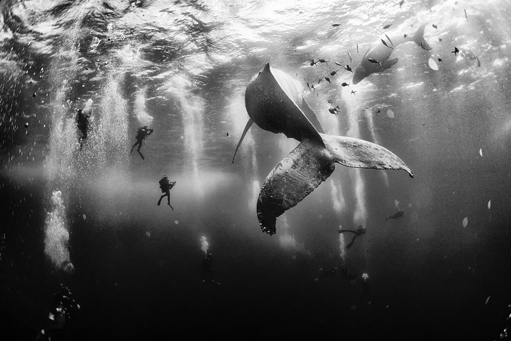 Diving with a humpback whale and her new born calf while they cruise around roca partida