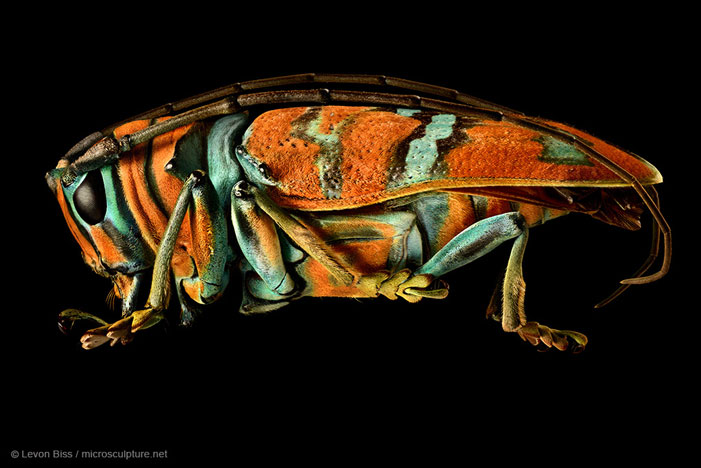 Jewel Longhorned Beetle | Levon Biss / microsculpture.net