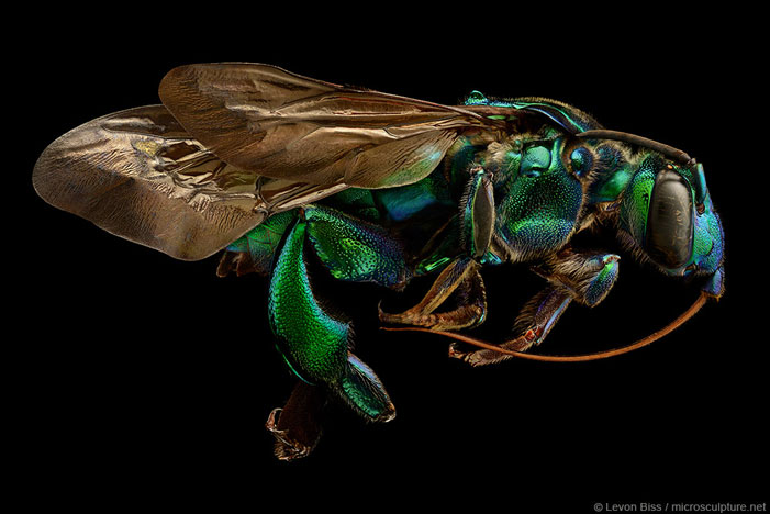 Orchard Cuckoo Bee | Levon Biss / microsculpture.net